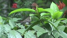 പ്രമാണം:Little Spiderhunter in Kerala.ogv