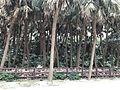 Livistona chinensis on Aoshima Island 3.jpg