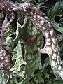 Lobaria macaronesica C. Cornejo & Scheid 407112.jpg