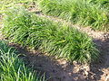 Lolium perenne plant2 (7185124265).jpg