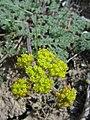 Lomatium foeniculaceum-4-04-04.jpg