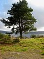Lone pinetree on the north shore of Clatteringshaws Loch - geograph.org.uk - 262773.jpg