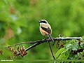 Long-tailed Shrike (Lanius schach) (22653369577).jpg