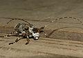 Longhorn Beetle (Lasiopezus longimanus) (11982484875).jpg