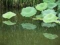 Lotuses (28894656035).jpg