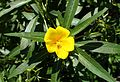 Ludwigia grandiflora kz3.jpg