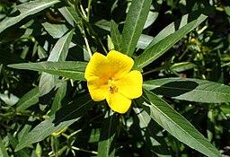 Ludwigia grandiflora kz3