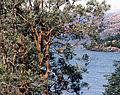Luma apiculata (8649763525).jpg