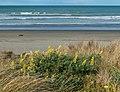 Lupinus arboreus, South New Brighton Beach, Christchurch, New Zealand 01.jpg