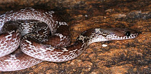 Lycodon - Lycodon aulicus