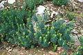 Ma-2200 (Lluc-Selva) - Euphorbia characias 02 ies.jpg