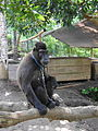 Macaca nigra in captivity Tandurusa Zoo.JPG