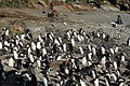 Macaroni Penguins at Cooper Bay, South Georgia (5892973120).jpg