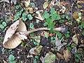 Macrolepiota procera 99589762.jpg