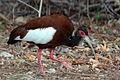 Madagascar crested ibis Lophotibis cristata.jpg