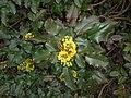 Mahonia aquifolium 2016-04-19 8018.jpg