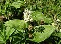 Maianthemum bifolium10.JPG