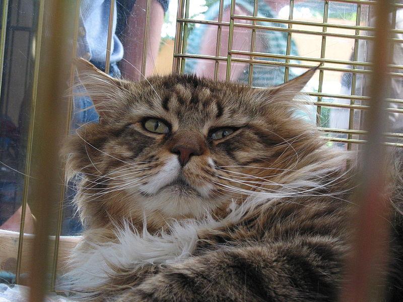 Big Cats Dont Have Slit Shaped Pupils