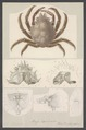 Maja squinado - - Print - Iconographia Zoologica - Special Collections University of Amsterdam - UBAINV0274 006 01 0056.tif