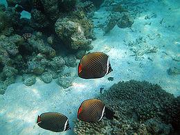 Maldives redtail butterflyfish, Chaetodon collare.jpg
