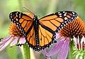 Male Monarch Butterfly (43969513502).jpg