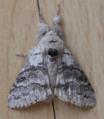 Male pale tussock moth - calliteara pudibunda (27501803727).png