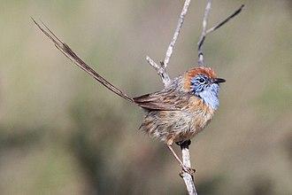 Emu-wren - Image: Mallee Emuwren (Stipiturus mallee) (8079650268)