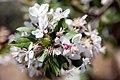 Malus floribunda 8zz.jpg