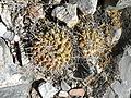 Mammillaria compressa (5761990224).jpg