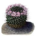 Mammillaria melanocentra T129.jpg