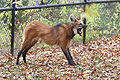 Maned Wolf 10, Beardsley Zoo, 2009-11-06.jpg