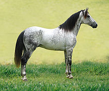 Dappled gray horse with dark mane and tail