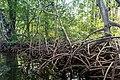 Mangroven Panama.jpg