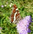 Map Butterfly . u-s. Araschnia levana. - Flickr - gailhampshire.jpg
