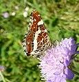 Map Butterfly . u-s. Araschnia levana. - Flickr - gailhampshire.jpg