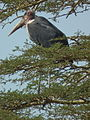 Marabou Stork Leptoptilos crumeniferus in Tanzania 3610 cropped Nevit.jpg