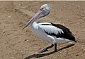 Margate Pelican stepping forward-1 (6244886144).jpg