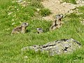 Marmot at Passo di Verva - panoramio.jpg