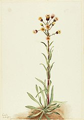 Tall Fleabane (Erigeron acris)