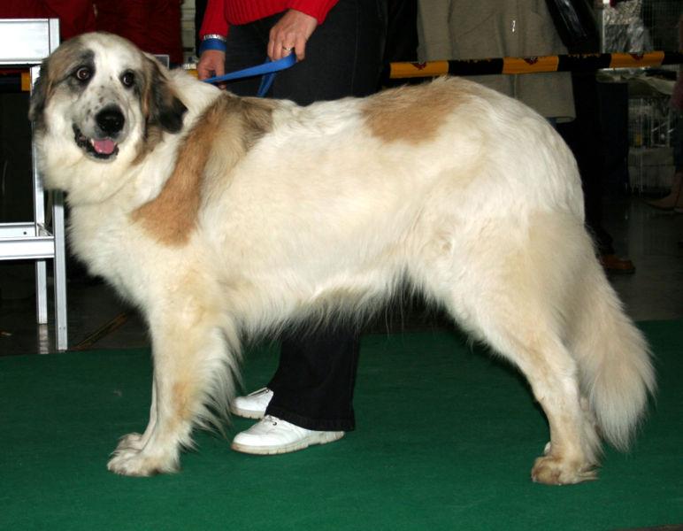 El Mastín del Pirineo siempre quiere mostrarse superior a los otros perros, gracias a la seguridad que tiene en sí mismo