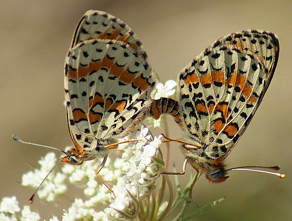 Mating Pair of Spotted Fritillaries on Greater Pignut