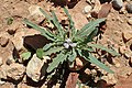 Matthiola parviflora kz05.jpg