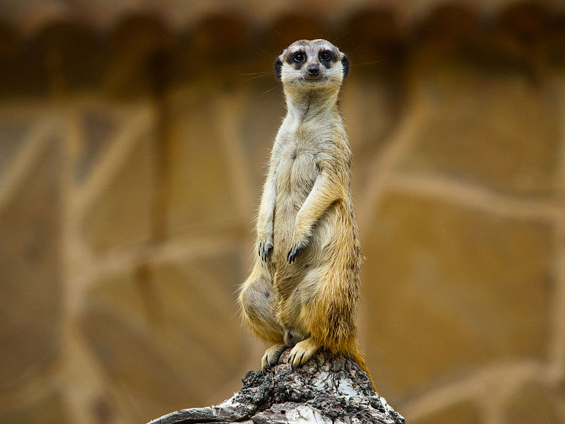 800px-Meerkat_At_the_zoo_Novosibirsk_Sib