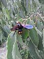 Megascolia maculata 2.jpg