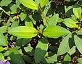 Melastoma malabathricum 108.JPG