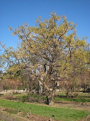 Zedrachbaum (Melia azedarach)