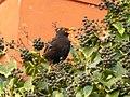 Merlo nell edera a via Gregoriana P1000075.JPG