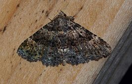 Metalectra discalis - Common Fungus Moth (14307357585).jpg