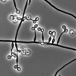 <i>Metarhizium granulomatis</i> Species of fungus