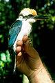 Micronesian Kingfisher.jpg